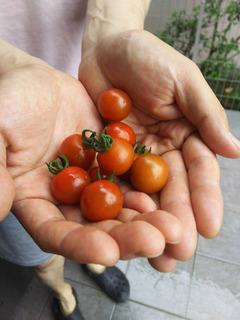 庭で収穫したミニトマト